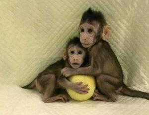 Maimuțele Rhesus au conștiință umană. Au puterea de a prelua conducerea Terrei