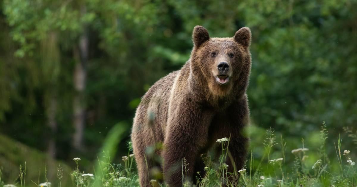 Trei ciobani au fost atacați de urs. Unul dintre ei a murit în condiții teribile