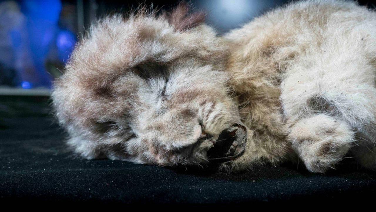 Pui de leu de acum 28.000 de ani, găsit conservat în regiunea polară