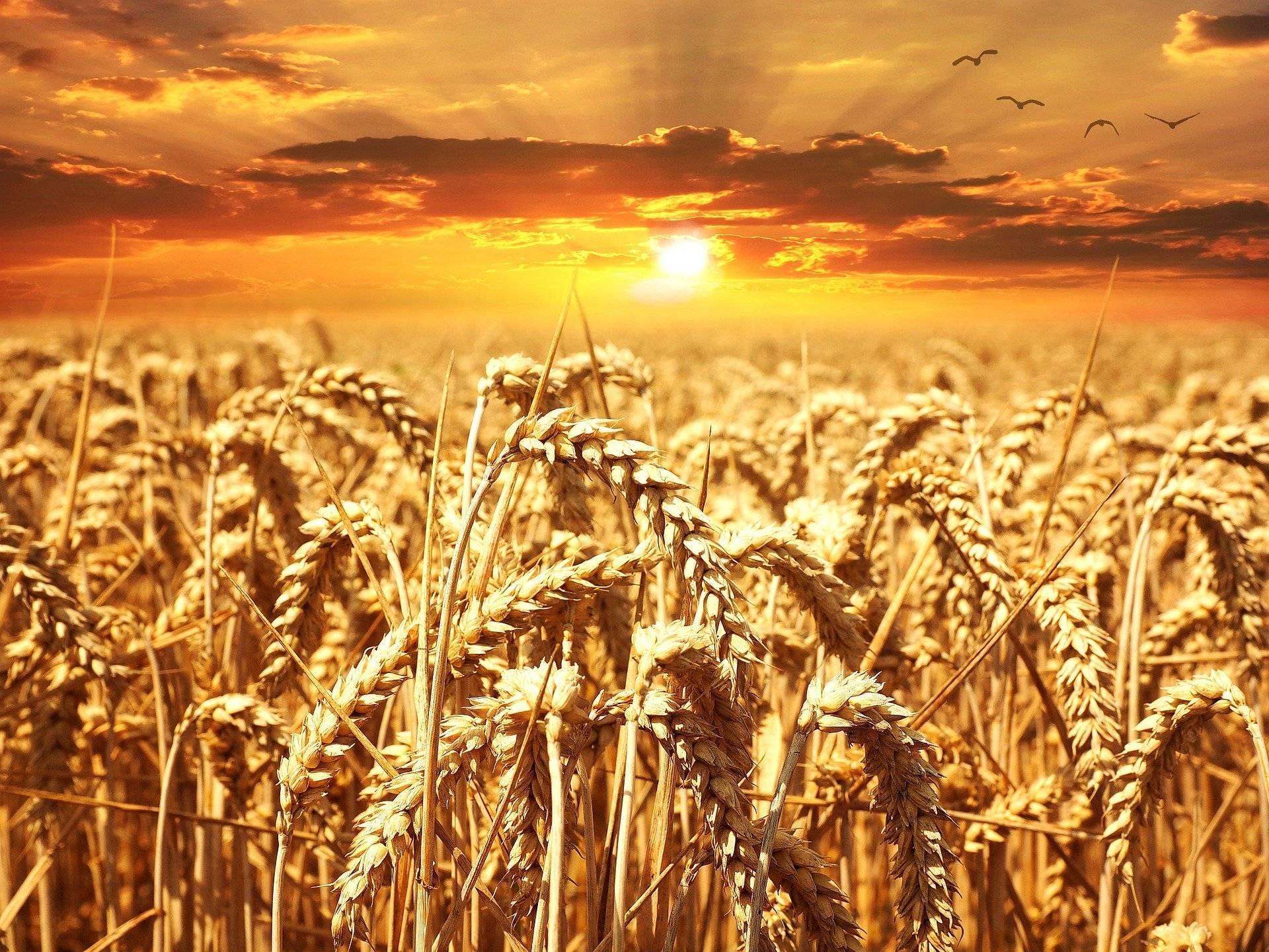 România are cea mai bună producție de grâu din ultimii 10 ani. Cezar Gheorghe despre creșterea prețurilor