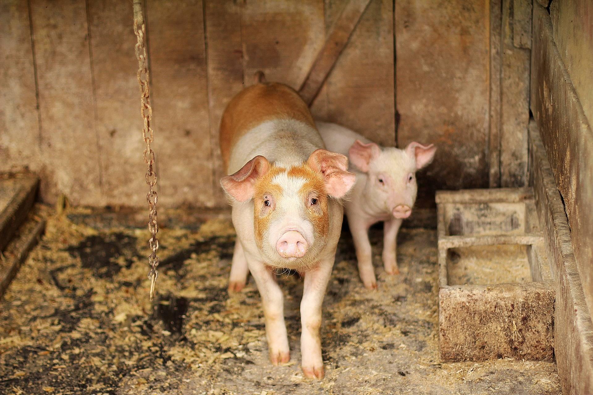 Problemele post-Brexit continuă. Fermierii britanici au aproape 100.000 de porci în plus pe care nu-i pot sacrifica