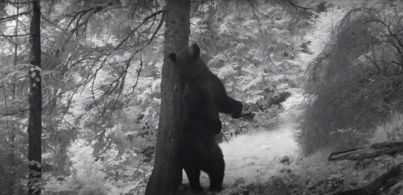 VIDEO. Ipostaze de poveste create de un urs, în parcul Național Piatra Craiului
