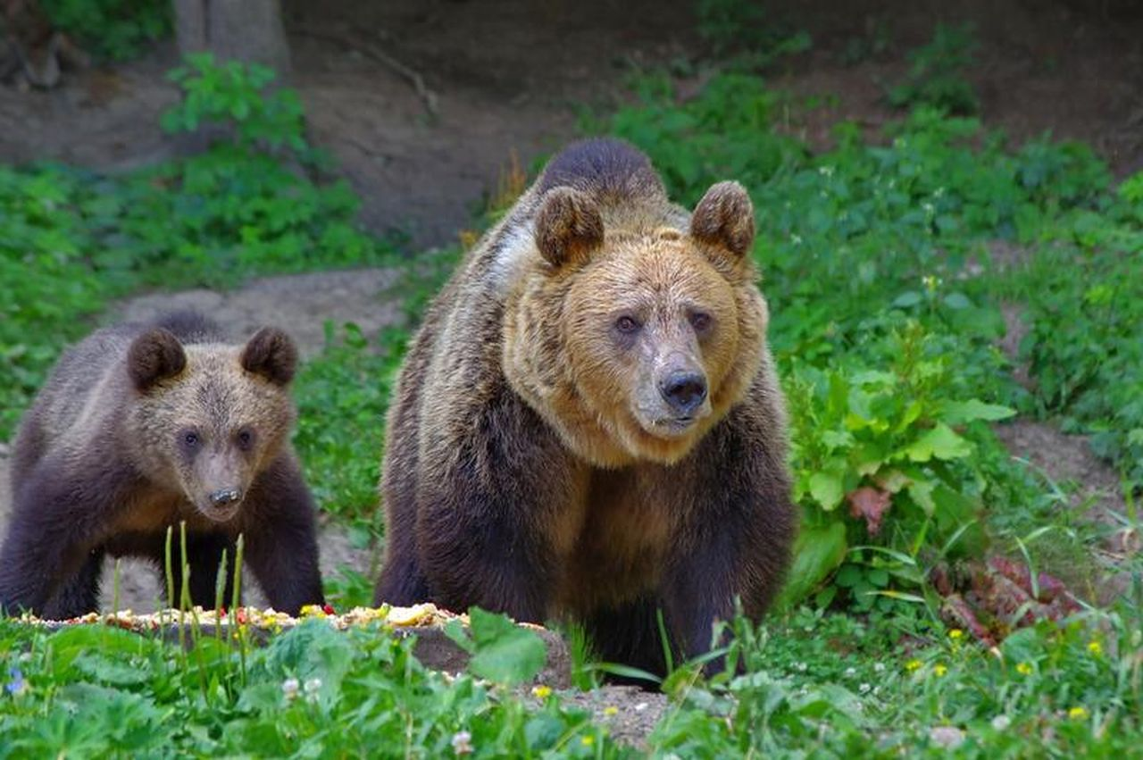 Ministerul Mediului a probat împușcarea primilor urși care fac probleme.. Iată lista