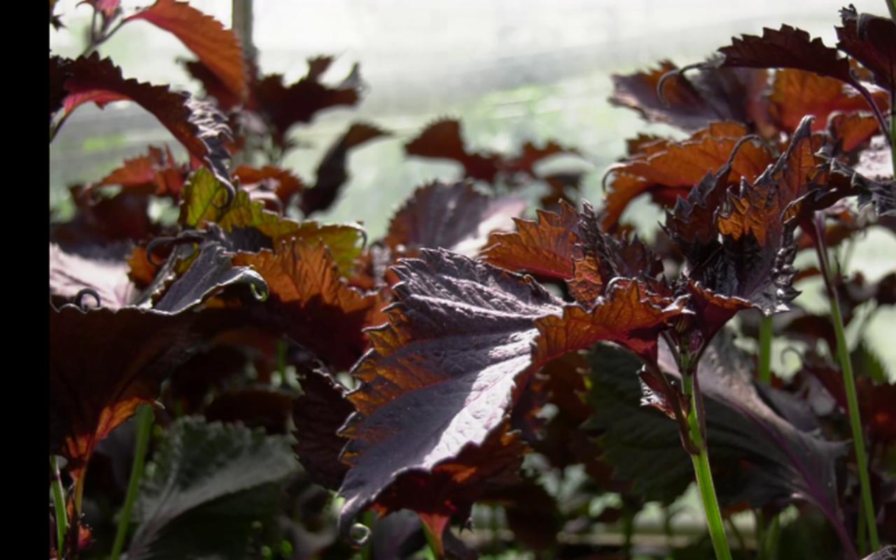 Premieră pentru România! O plantă aclimatizată are proprietăți de remediere a cancerului