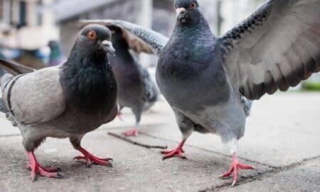 Jaf istoric, în Belgia! Un sucevean a furat porumbei în valoare de 600.000 de euro